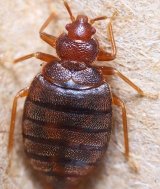 Return to Sender – Where Do Bed Bugs Come From?